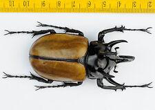 FREAK BEETLE - Eupatorus gracilicornis with UNUSUAL HORN - 6786