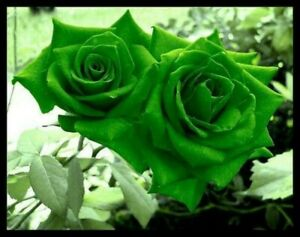10 pcs   Green Rose Flower seeds Rare Amazingly Beautiful Seeds