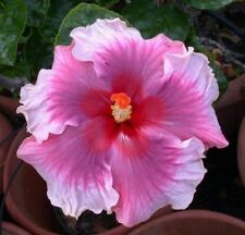 Rainbow Hibiscus Flower Seeds Plant Hibiscus Seeds Best Gift For Your Kids Giant