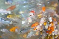 "PEANUTS"" - 180 LOT - 1-2"" ASSORTED MIXED Fin Live KOI Pond Garden Fish KTTW"