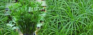 Cyperus Alternifolius Live Water Plant Aquatic Pond Lake Marginal Bargain