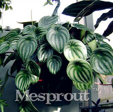 Promotion!100pcs/bag Rare Chinese Rare Peperomia Seeds MIX variety Bonsai Tree S