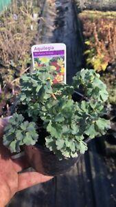 3 x Aquilegia Plants (McKana Giant Mixed) in 12cm pots