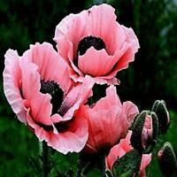 100PCs Seeds Rare Beautiful Perennial Pink Poppy Flowers With Black Eyes Garden
