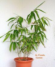 Riesen-Bambus Moso @ Phyllostachys pubescens edulis@Winterhart@essbar@ 50 Samen