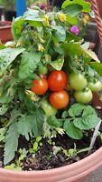 TOPF -  Zwerg TOMATE  rot Zimmer, Balkon, kleinste Tomatenpflanze,  sehr süß,