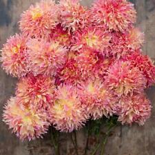 2 Pink Dahlia Giant Dinner Plate 'Myrtle's Folly'  tubers bulbs summer flowering