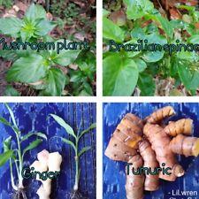 4 Edible Plants Ginger, Turmeric, Mushroom and Brazilian Spinach  Plant.