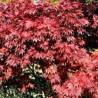 Acer palmatum Atropurpureum Roter Fächer Ahorn ..