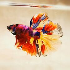 Live Betta Fish - Male - Koi Red Candy HalfMoon Betta(AAUG22)(High-Grade)