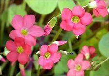 30 Iron Cross Oxalis Deppei Lucky Clover Good Luck Plant Bulbs Corms red flower