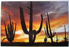 Giant Post Card  / Giant Saguaros silhouetted / von 1973
