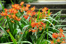 10X Crocosmia Montbretia Mature Adult Plants UKgrown Hardy Drought Resistant