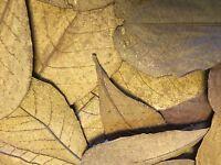 20 x Seemandelbaumblätter ca 10-15cm - Catappa-Leaves Wasseraufbereitung Futter
