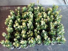 60 x Buxus Sempervirens Evergreen Box Hedging 9cm pot