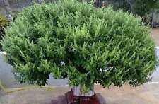 "Rare Organic seeds Tulasi ""Holy Basil"" (Ocimum sanctum) perennial. From Ukraine."