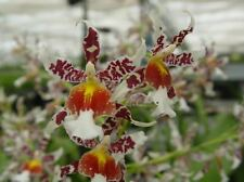 "ONCIDIUM REX'S LUCK 'FIREFLY', ORCHID PLANT SHIPPED IN 3"" POT"