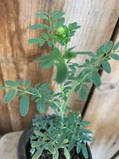 1 S. California Garden Organic Rue , Ruda, Ruta Graveolens Starter Plant