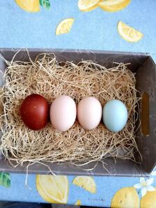 Uova feconde di Marans, Araucana, Amrock ed Australorp allevate solo in purezza.