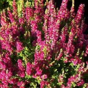 6 Calluna vulgaris Darkness Garden Heathers