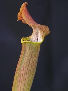 Carnivorous Sarracenia rubra subsp. wherryi - Wavy Lidded, Escambia Co., FL