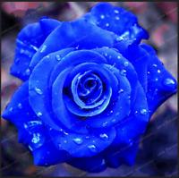 Rare Blue Rose Flowers Plants Perennial Bonsai Home Garden 50 Pcs Seeds NEW 2020