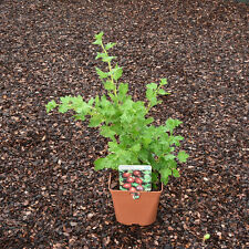 1  Large Gooseberry Hinnomaki Red Plant in a 3 litre pot. Delivered free