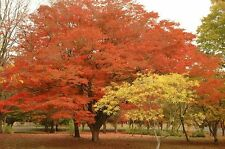 Japanese Zelkova    100 seeds.           trees, seeds