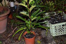 CAMELIA SINENSIS - 1 PLANT x Tea Plants - Green Black Tea - FREE SHIPPING
