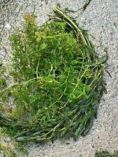 Ceratophyllum  + MYRIOPHYLLUM   mix vrac 2l plante  portion  bassin oxygenante