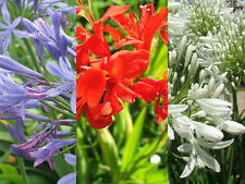 Agapanto azul 7 semillas flores Crocosmia  7 seeds  Agapanthus blanco 7 graines