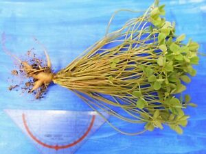 Oxalis megalorrhiza, Altpflanze, Caudex, rar