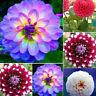 HB- 50Pcs Dahlia Pinnata Seeds Easy Grow Plant Ornamental Flower Garden Office D