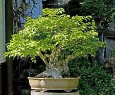 10x fresh seeds Fraxinus excelsior Ash bonsai bonsai tree
