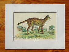 Serval - Mounted Antique Animal Big Cat Print Victorian Lithograph