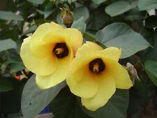 Yellow Hibiscus (Hibiscus tiliaceus) -  30 Seeds Tolerates salt and waterlogging