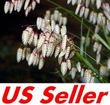100 Pcs Seeds Quaking Grass Seeds T40, Briza Maxima Seeds