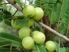 Phyllanthus emblica, Indian gooseberry for planting 20 Seeds From Thailand