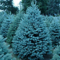 10 Rare Blue Cedar Thuja Tree Occidentalis Bonsai Courtyard Garden Plant Se Z8Q8