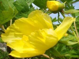 YELLOW TREE PEONY, Paeonia lutea var ludlowii, ornamental shrub, flowering, 20cm