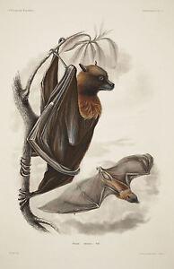Framed Print - Vintage Victorian Illustration of the Fruit Bat (Antique Bats)