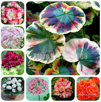 200 PCS Seeds Rare Geranium Pelargonium Perennial Flowers Bonsai Plants Garden N