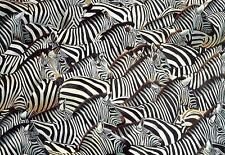 STUNNING PAINTING IN OILS ON LARGE CANVAS OF A HERD OF ZEBRA 120cm x 90cm