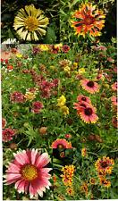 Gaillardia - mixed  - NOT WA & TAS - 100 seeds - buy more and get discount