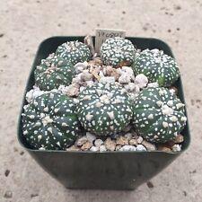 "Astrophytum asterias fuzzy areoles, superkabuto, 3"" pot, 170803B"