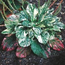 Plantain- Variegated (Plantago Major)- 25 Seeds -