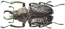 Insect - Sphaenognathus alticollis - C.Peru - Male 30mm+ ....!!