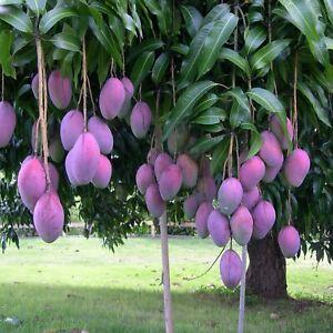 "MANGO PALMER ( Manglifera )Tropical Fruit Tree SEEDLING 12""-24"""