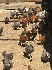 14+ Mixed hatching eggs. Production Reds, Barred Rocks, Black & Gold Sexlink
