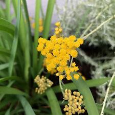 Currykraut Helichrysum italicum mediterraner Duftstrauch Currystrauch Dufthecke